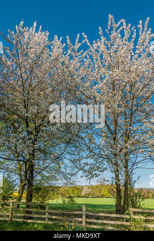 A pair of wild cherry trees Prunis Avium in full blossom against a clear blue sky background in spring sunshine - Stock Image