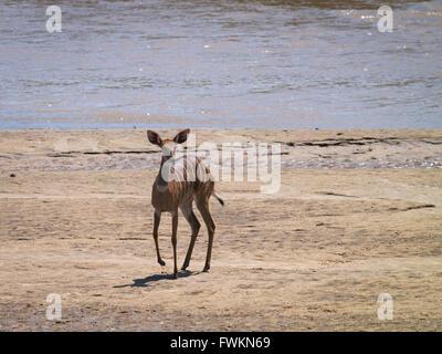 Bushbuck (Tragelaphus sylvaticus) by river shore in Tarangire National Park, Tanzania, Africa - Stock Image