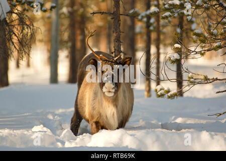 Portrait of a reindeer (Rangifer tarandus) plodding through deep snow in a sunny forest. - Stock Image