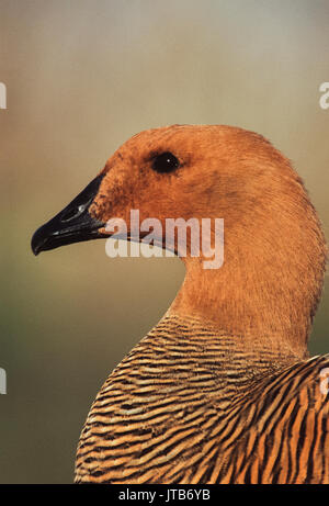 Female Upland Goose, also called Magellan Goose,(Chloephaga picta)-male and female are sexually dimorphic, WWT Reserve,UK - Stock Image