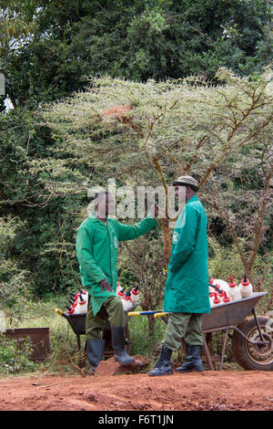 Two keepers at the,Sheldrick Elephant Orphanage with wheelbarrows full of milk bottles for the orphan elephants, - Stock Image