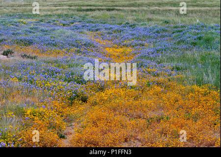 Goldfields, Lasthenia sp.,  Minature lupine, Lupinus bicolor, Cuyamaca Rancho State Park, CA 080518_30369 - Stock Image