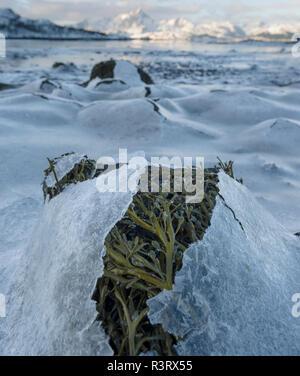 Landscape with seaweed near Leknes, island Vestvagoy. The Lofoten islands in northern Norway during winter. Scandinavia, Norway - Stock Image