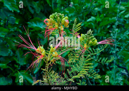 Close up of Caesalpinia gilliesii growing in the Cyprus countryside - Stock Image