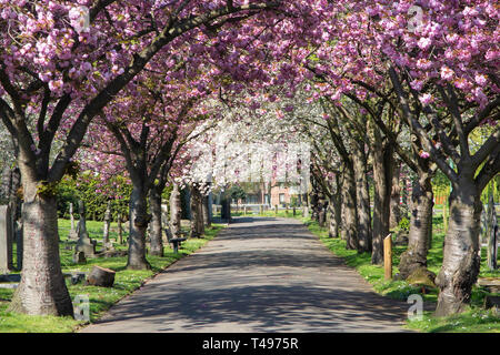 Beautiful blossom trees forming an arched canopy in Wandsworth, London - Stock Image
