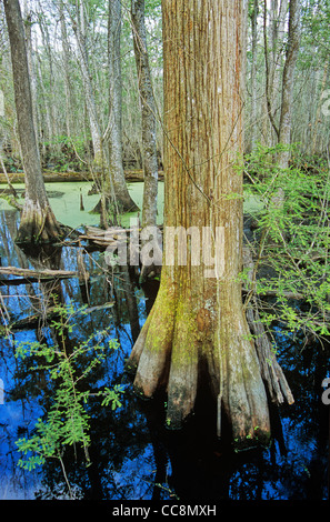 Francis Beidler Forest with bald cypress in Four Holes Swamp, a riverine swamp, west of Charleston, South Carolina, - Stock Image