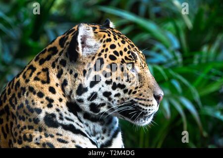 An adult jaguar (Panthera onca) up close among jungle vegetation. - Stock Image