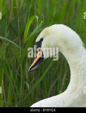 mute swan portrait - Stock Image