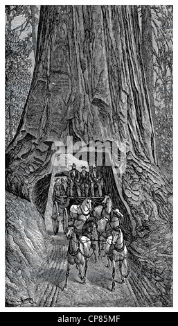 Carriage ride through a giant redwood tree (Sequoia) in Muir Woods National Monument, historic engraving, 19th Century, - Stock Image