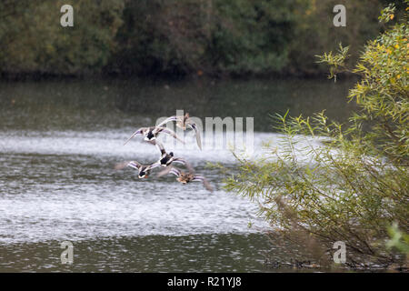 Five Mallard ducks flying at speed above a river in the rain - Stock Image