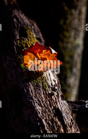 Dry, crumpled autumn leaf clings to a moss covered branch in a North Carolina mountain forest. - Stock Image