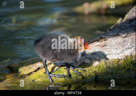 Eurasian Coot chicks, also known as Common Coot or Coot, (Fulica atra), Regents Canal, London, United Kingdom - Stock Image