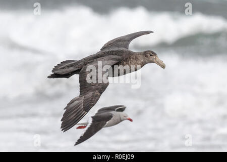 Southern Giant Petrel in flight - Stock Image