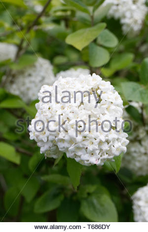 Viburnum macrocephalum flowers. Chinese Snowball. - Stock Image