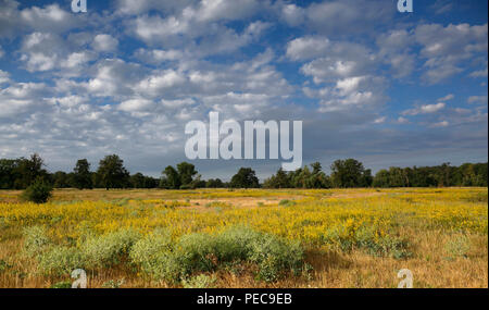 Flowering meadow, grasslands in the floodplain near Dessau, cloudy sky, Middle Elbe Biosphere Reserve, Saxony-Anhalt, Germany - Stock Image