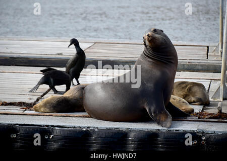 Sea Lions on a dock from Shelter Island San Diego - Stock Image