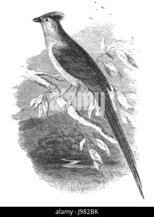 Natural History, Birds   Coly - Stock Image