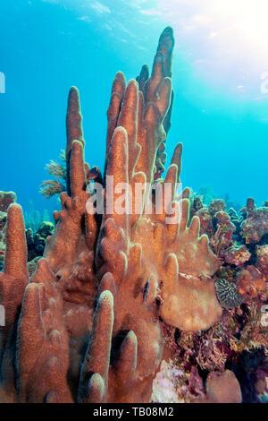 Coral garden in Caribbean off the coast of the island of Roatan Honduras - Stock Image