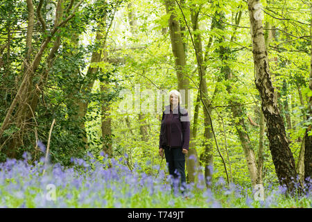 Mature woman walking in woodland among Bluebells, Hyacinthoides non-scripta, Sussex, UK, April - Stock Image