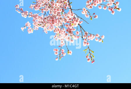 Blossoming cherry tree branches framing blue sky background - Stock Image