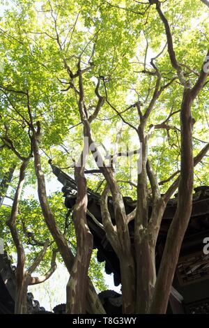 Lagerstroemia 'Natchez' - Crape Myrtle tree - at Lan Su Chinese Garden in Portland, Oregon, USA. - Stock Image