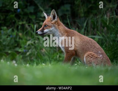 A wild Red Fox (Vulpes vulpes), Warwickshire - Stock Image
