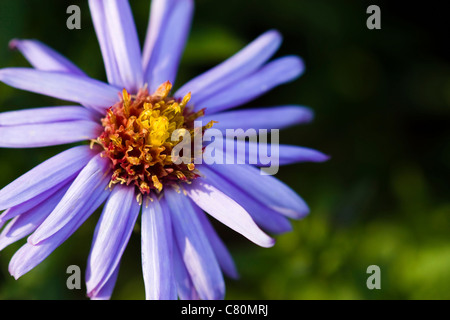 Selective focus image of the Aster Himalaicus. - Stock Image