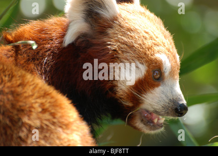 A Red Panda - Stock Image