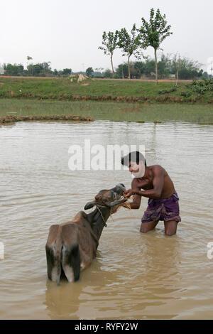 BANGLADESH Man washing his water buffalo. Near Mymensingh photo by Sean Sprague - Stock Image