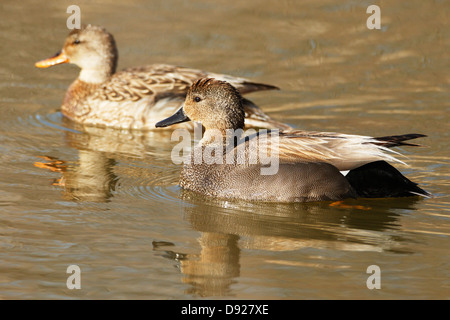 Gadwall (Anass strepera) duck pair in the Sherburne National Wildlife Refuge - Minnesota, USA. - Stock Image