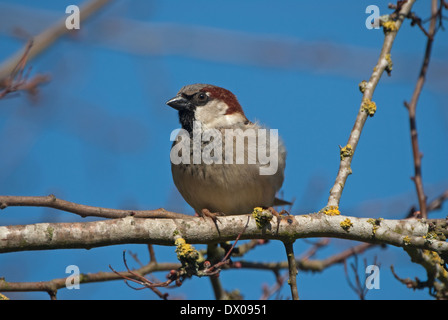 Male European House Sparrow (Passer domesticus) perched in tree - Stock Image