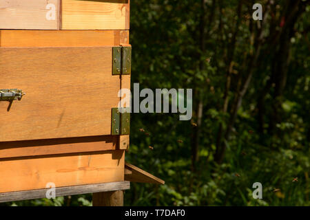 nature wooden beehive and flying bees, side view of bees flying in a hive - Stock Image