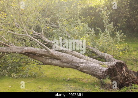Fallen tree after a storm - Stock Image