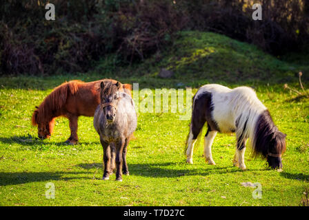 Herd of cute little pony horses grazing on the grass of a green meadow field on bright a sunny day - Stock Image