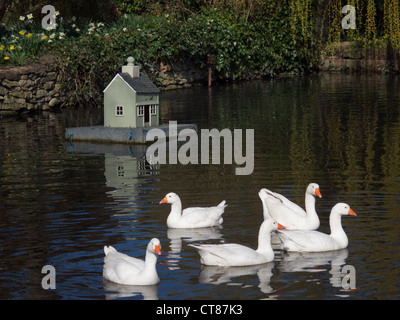 Five Geese on village duck pond with duck house. - Stock Image