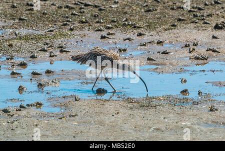 Eastern Curlew Numenius madagascariensis Wellington Point, Queensland Australia - Stock Image