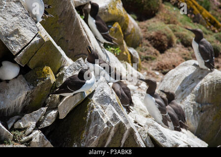 RAZORBILL from Saltee Islands in County Wexford - Ireland - Stock Image