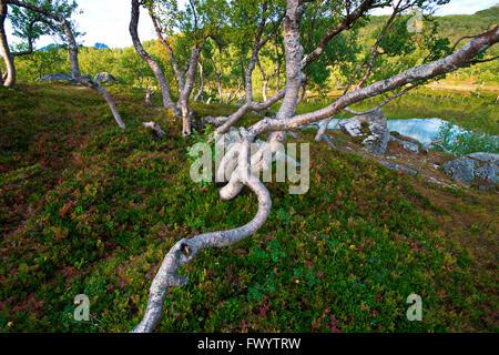 Little lake and gnarled birch tree on island Hinnøya. Troms, northern Norway, Europe - Stock Image