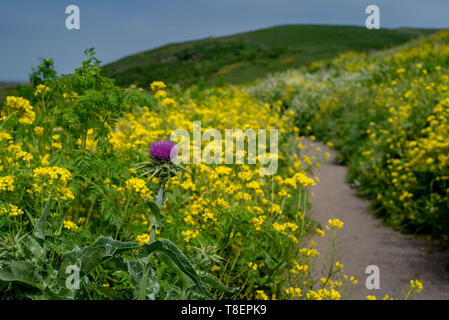 Springtime display of beautiful flowers of invasive weeds in Point Reyes National Seashore: mustard and selective focus on Oregon whistle - Stock Image