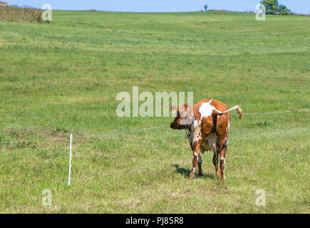 Cow is urinating while grazing on a field. Norway. - Stock Image