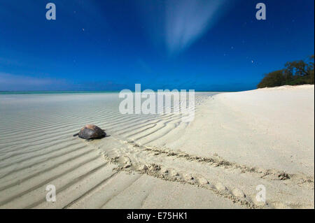 Green seaturtle, Great Barrier Reef QLD Australia - Stock Image