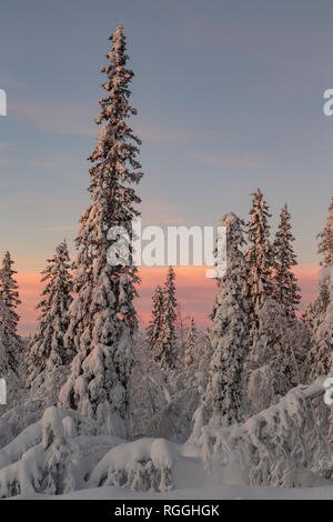 Winter landscape at sunset with nice color in the sky and snowy trees, Gällivare county, Swedish Lapland, Sweden - Stock Image