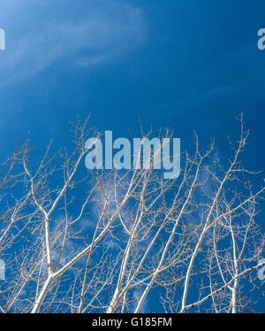 Low angle view of bare trees against blue sky - Stock Image