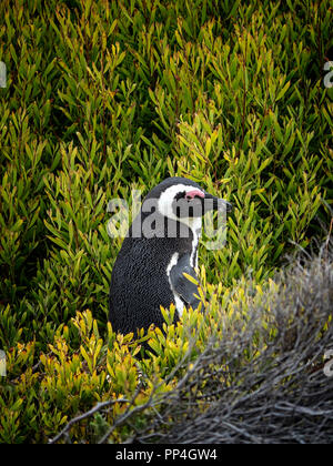 African penguin (Spheniscus demersus), also known as the jackass penguin and black-footed penguin of Boulders Beach, Western Cape near Cape Town, Sout - Stock Image