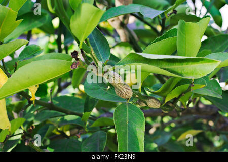 Gall wasp damage on the branch of a lemon tree. - Stock Image