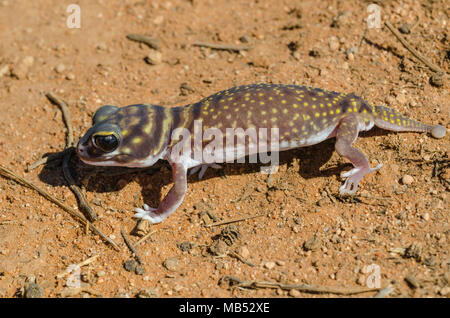 Starred knob-tailed gecko, Yumbarra Conservation Park, South Australia - Stock Image