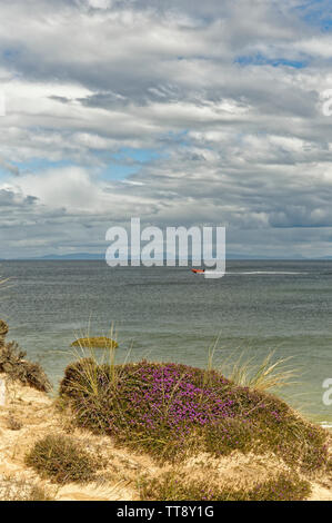 FINDHORN MORAY COAST SCOTLAND PURPLE FLOWERS OF BELL HEATHER ERICA CINEREA GROWING ON A SAND DUNE NEAR THE SEA AND A SPEEDBOAT - Stock Image
