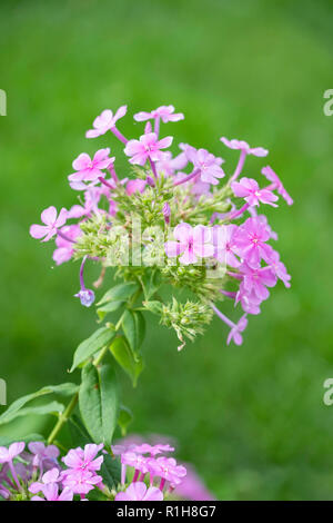 Delicate pink garden phlox, Phlox paniculata. Kansas, USA. - Stock Image