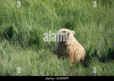 Front view of a Cute Grizzly Bear Spring Cub, Ursus Arctos, sitting in sedge grass, Lake Clark National Park, Alaska, - Stock Image