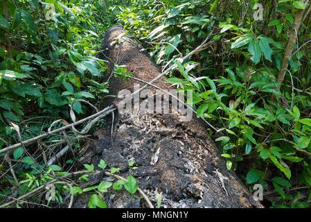 A fallen tree lies amongst dense vegetation in Byfield, Queensland, Australia. - Stock Image